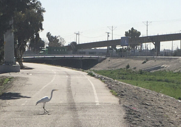 My new friend the great Egret.