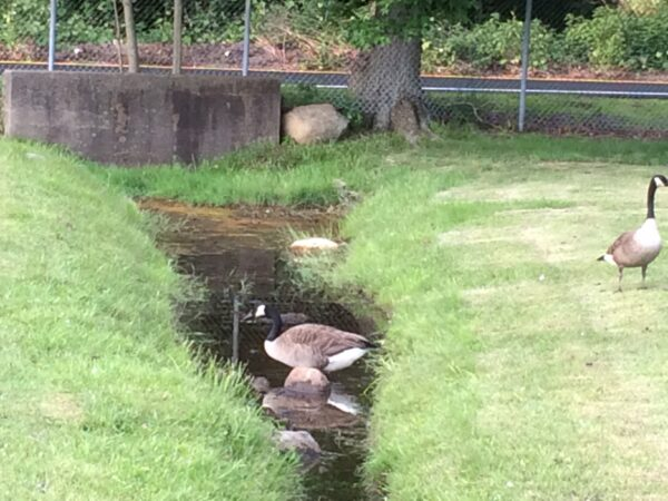 Geese crossing stream at Darlington Park in New Jersey.