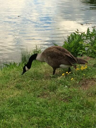 Goose with his head down by pond in village of Suffern, New York.